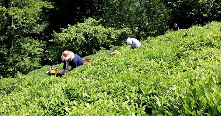 Çaykur, 203 bin ton yaş çay alımı yaptı