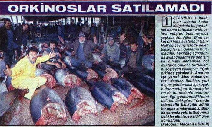 1.000 ORKİNOS SATILAMAYINCA, UÇAK KİRALANIP YURT DIŞINA GÖNDERİLDİ 23 Aralık 1986 tarihli bir başka gazete haberinde ise gece yarısı yakaladıkları 1.000'e yakın orkinosun satılamayıp elde kaldığını haber veriyor. Haberde balıkçılar, satamadıkları balıkları uçak kiralayarak yurt dışına çıkaracaklarını söylüyor.