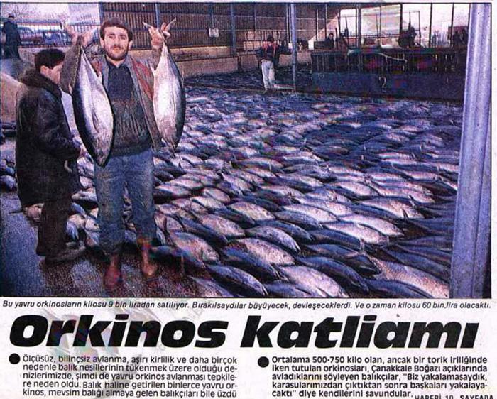 YAVRU ORKİNOSLARA KIYILDI 05 Şubat 1989 tarihli gazete haberinde Çanakkale Boğazı'nda yakalanan binlerce yavru orkinos balığını manşete taşıyor. Balıkların büyüyüp gelişmeden yakalanmasının nesli açısından olumsuz bulduğunu söyleyen satırlar, bugünkü manzaranın nedenlerini de ortaya koyar cinsten.