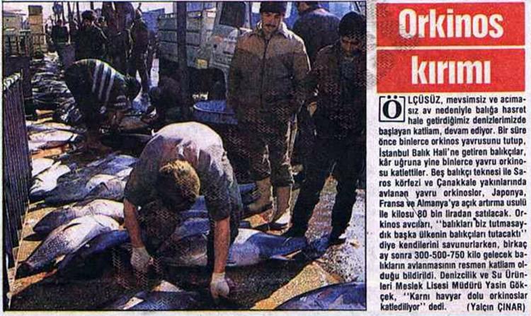 YAVRU ORKİNOSLARA KIYDILAR 21 Şubat 1989'daki haberde binlerce yavru orkinosun katledildiği yazıldı. Tutulan balıklara Almanya, Fransa ve Japonya talip oldu. Balıklar tutulmasaydı birkaç ay sonra 750 kiloya kadar çıkabileceklerdi.