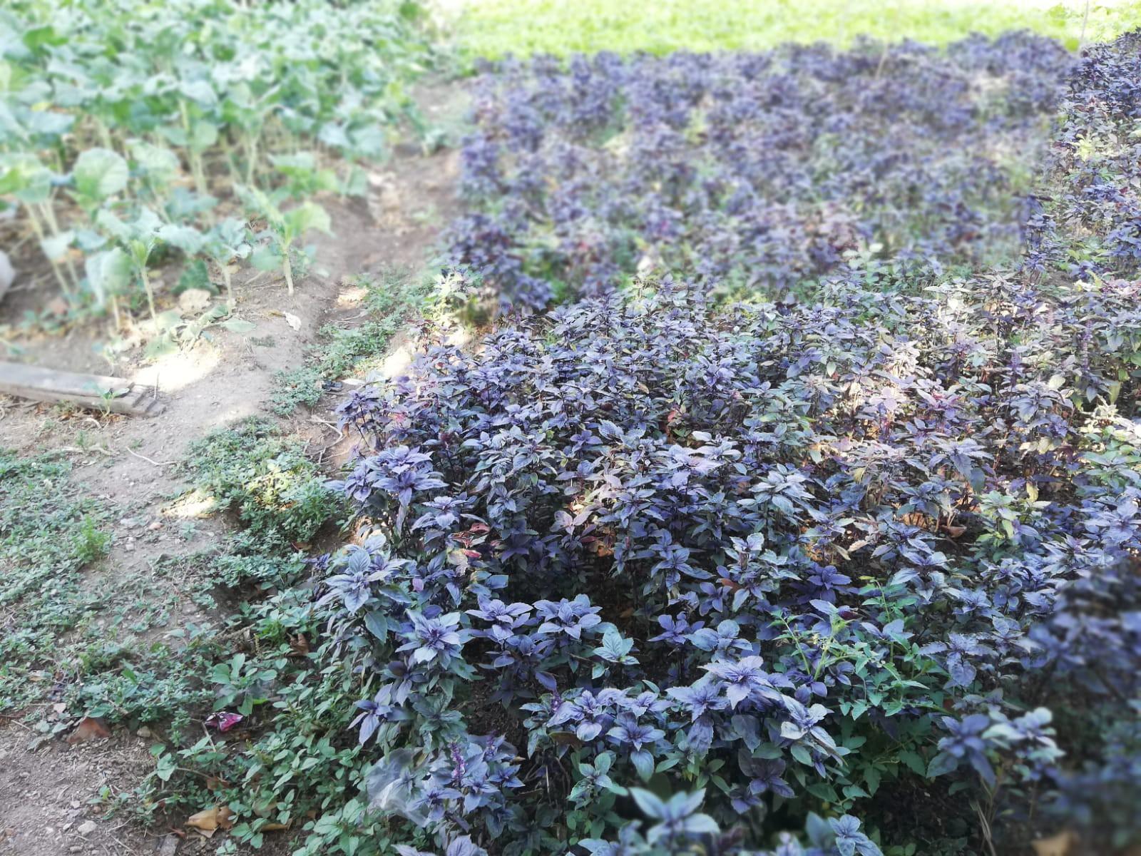 Burada da eskiden Langa Bostanları'nda olduğu gibi salatalıkta kullanılan malzemeler ekiliyor.