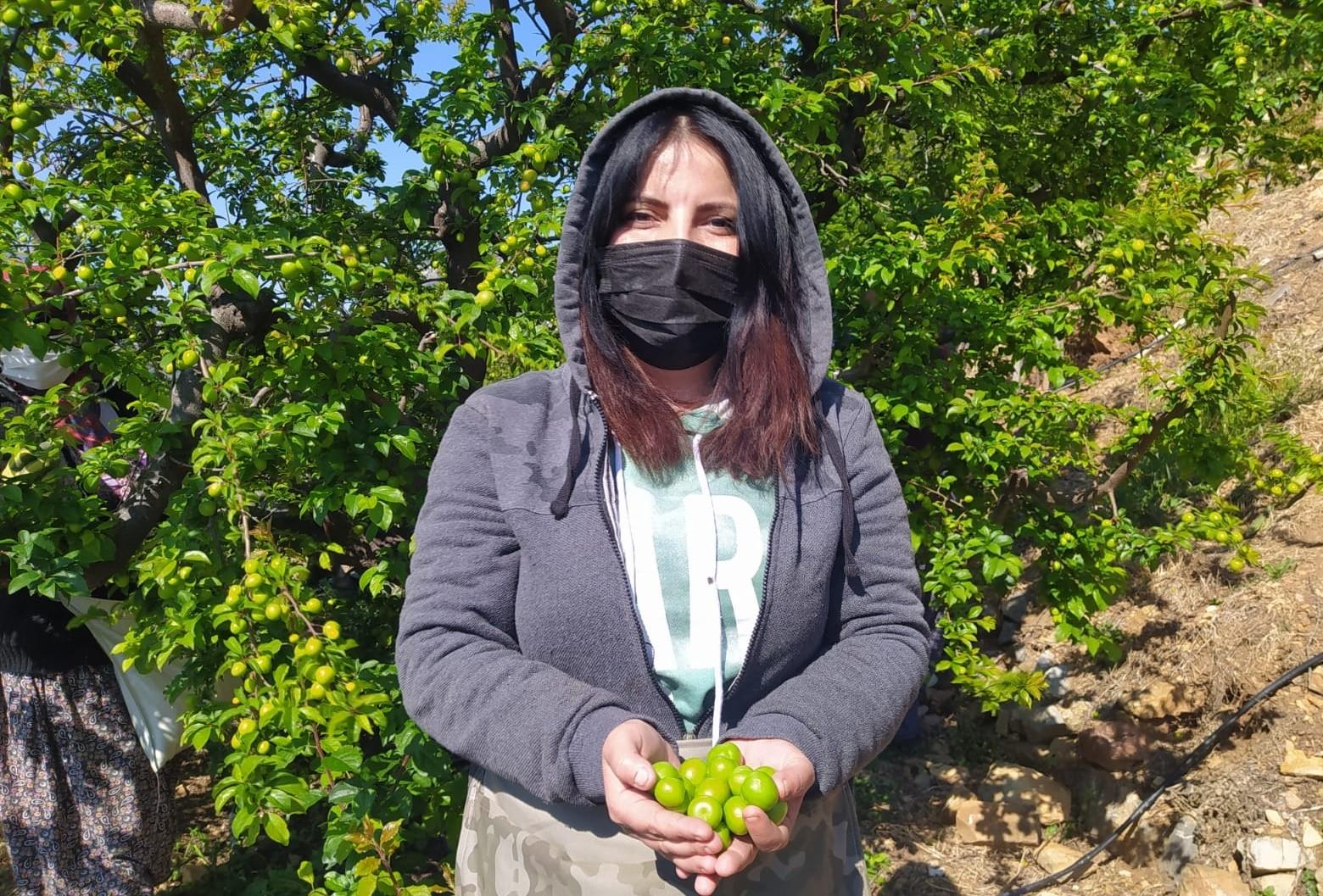 Silifke'de açıkta erik hasadı başladı