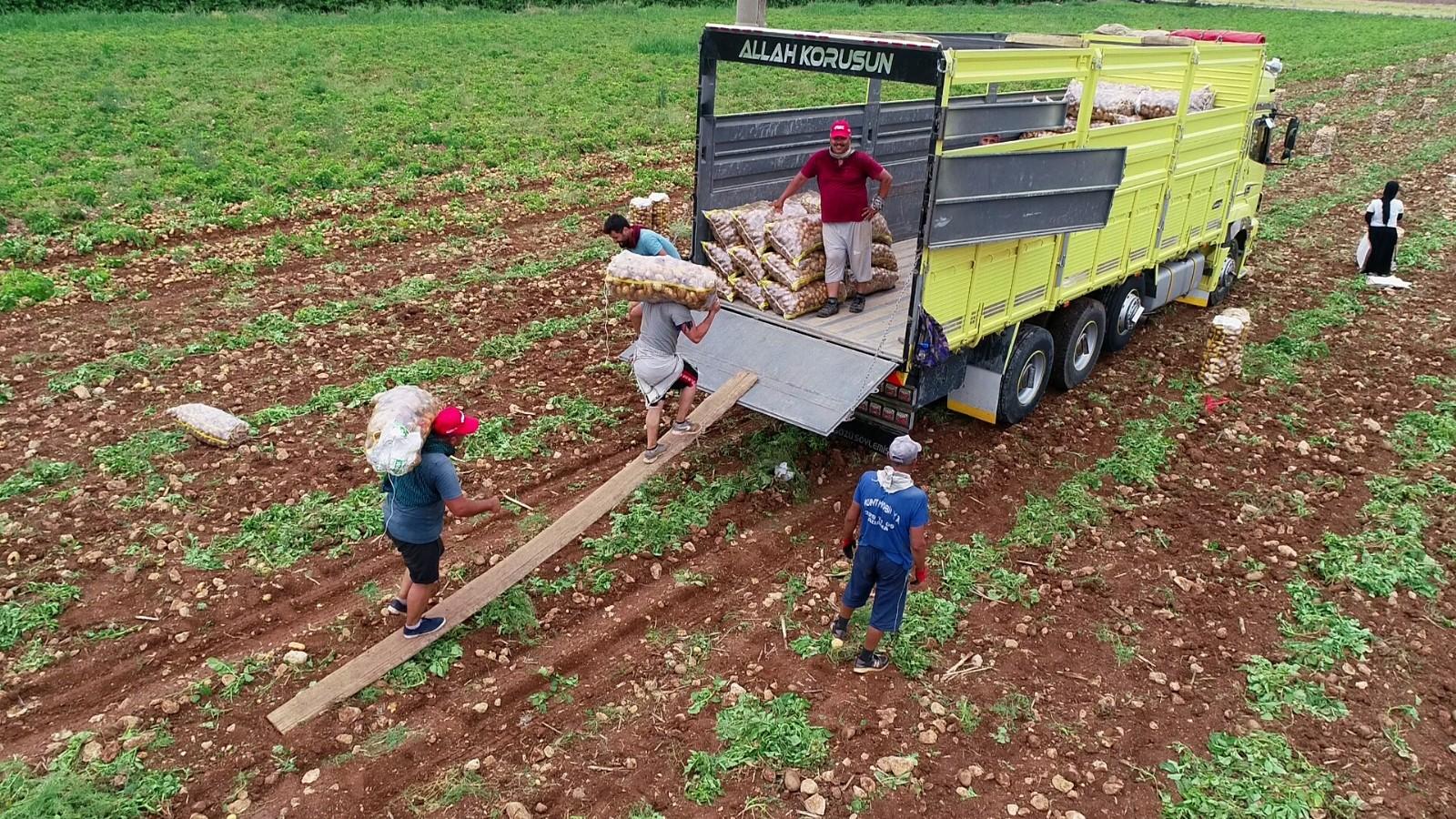 Adana'da erkenci patates hasadı başladı