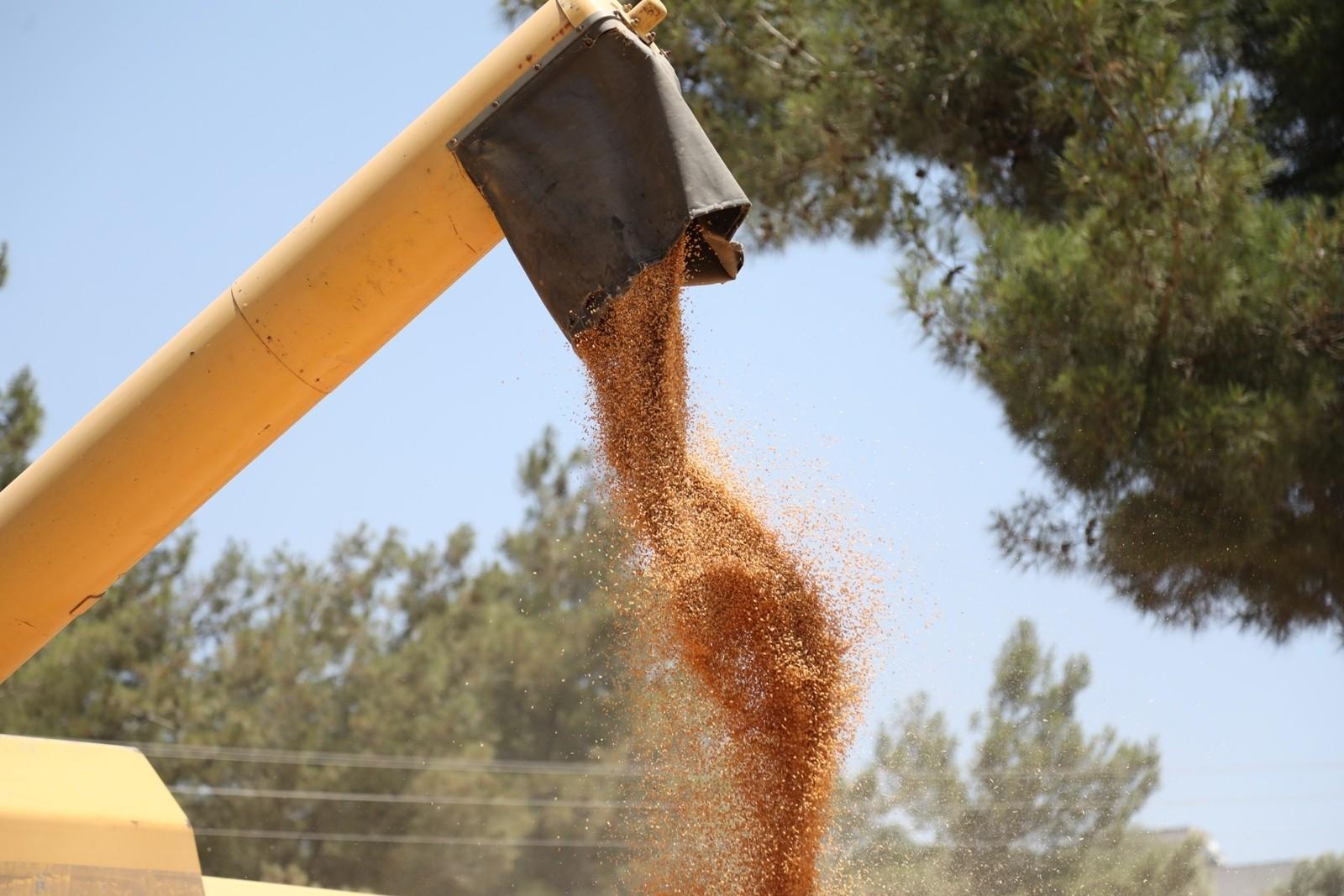 Ata tohumu Karakılçık Buğdayı'nın ilk hasadı Karaova'da yapıldı