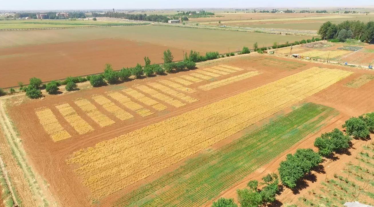 Şanlıurfa'da 'Ubet' nohut hasadı başladı