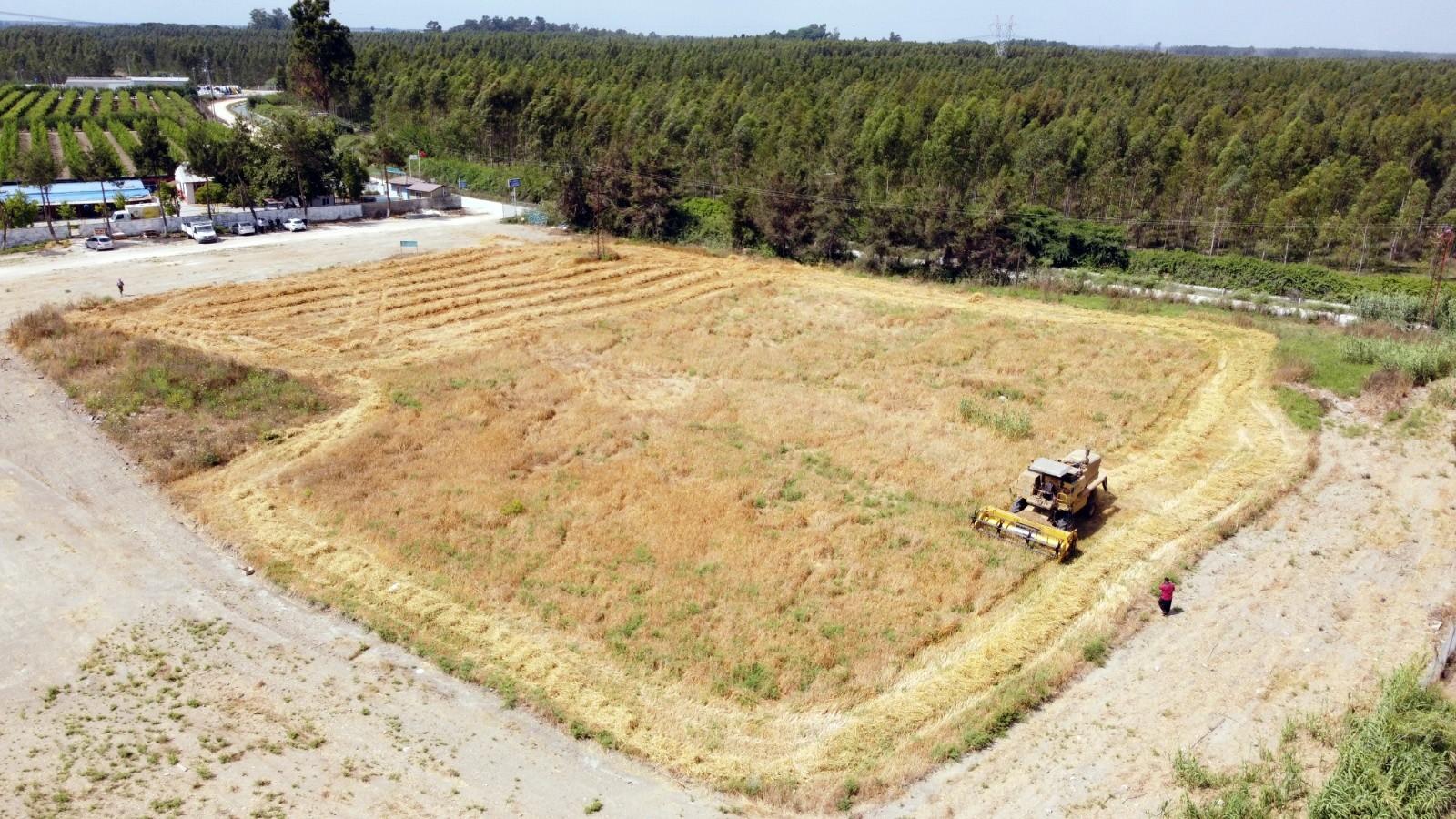 Tarsus'ta 7 dönümlük kunduru buğdayı hasat edildi