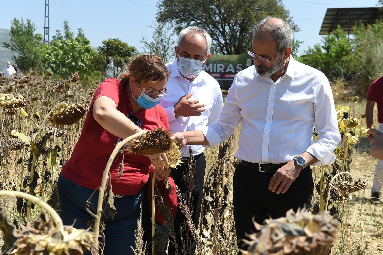 Tarsus'ta yerli ve milli ayçiçeği hasat edildi