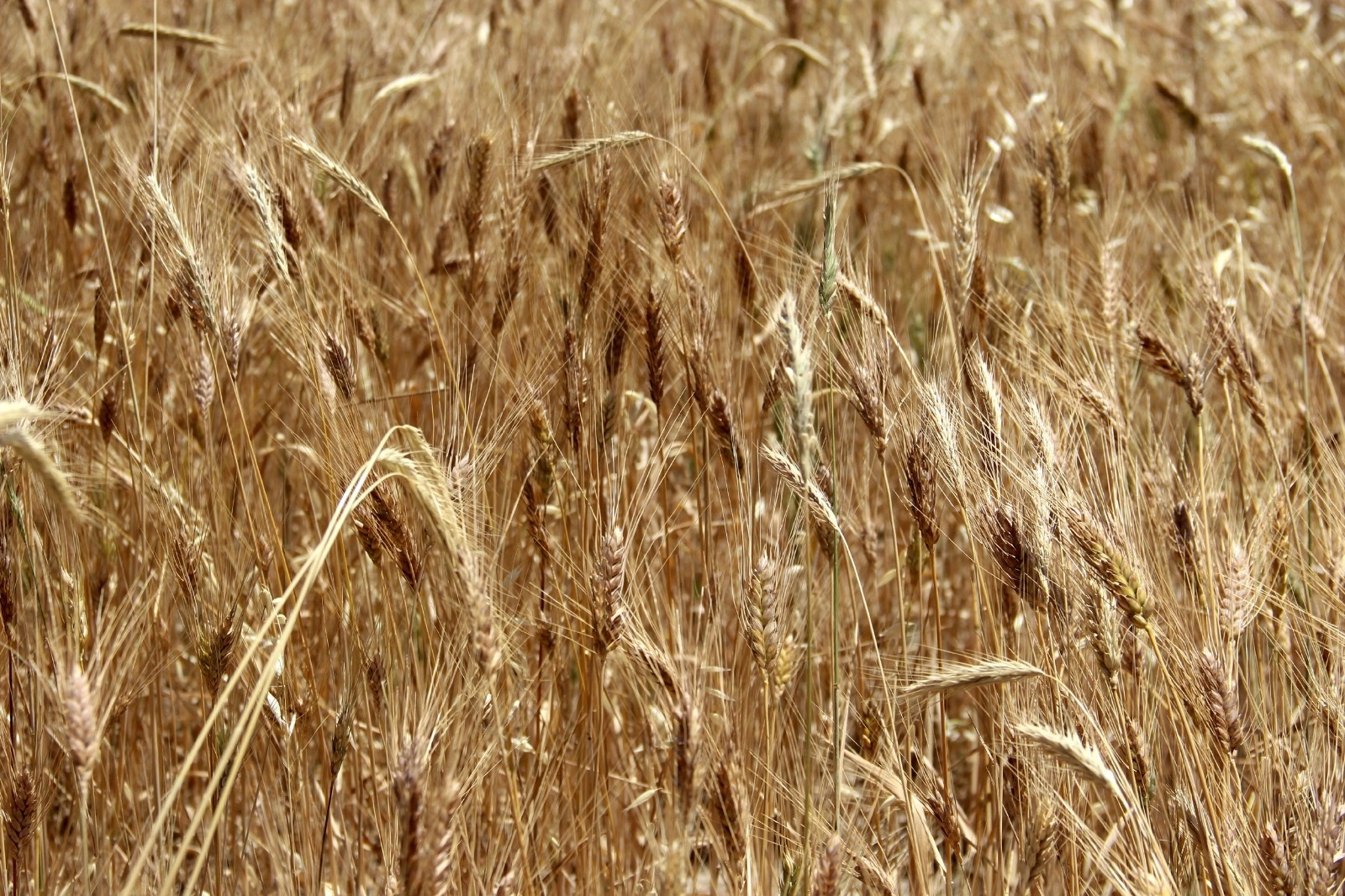 Sivas'ta buğday rekoltesinde endişeli bekleyiş