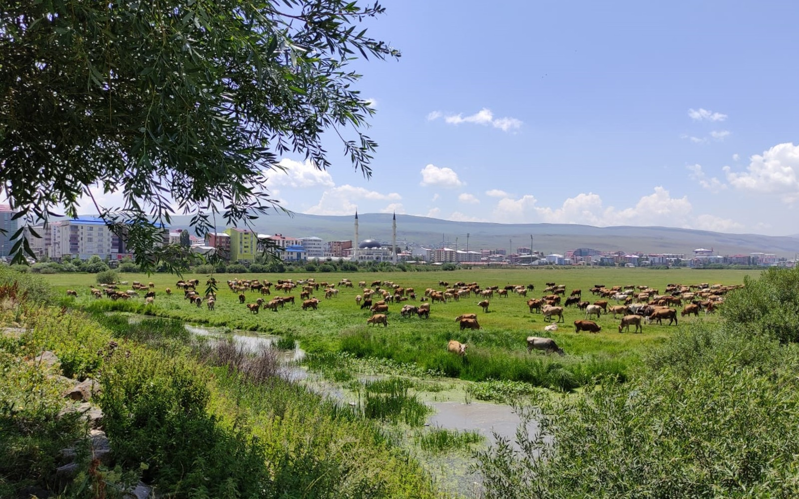 Ardahan'ı kuraklık vurdu, hayvanlar yaylalardan indirilip meralara bırakıldı