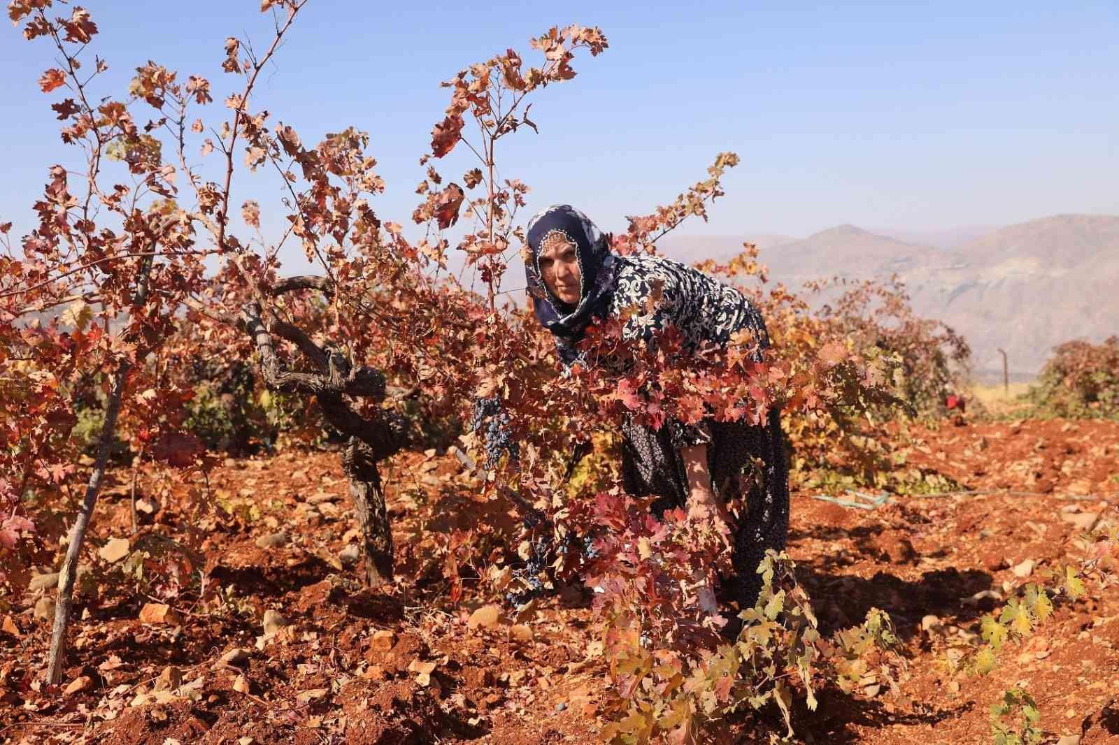Diyarbakır'da coğrafi işaretli Boğazkere üzümünde bağbozumu başladı