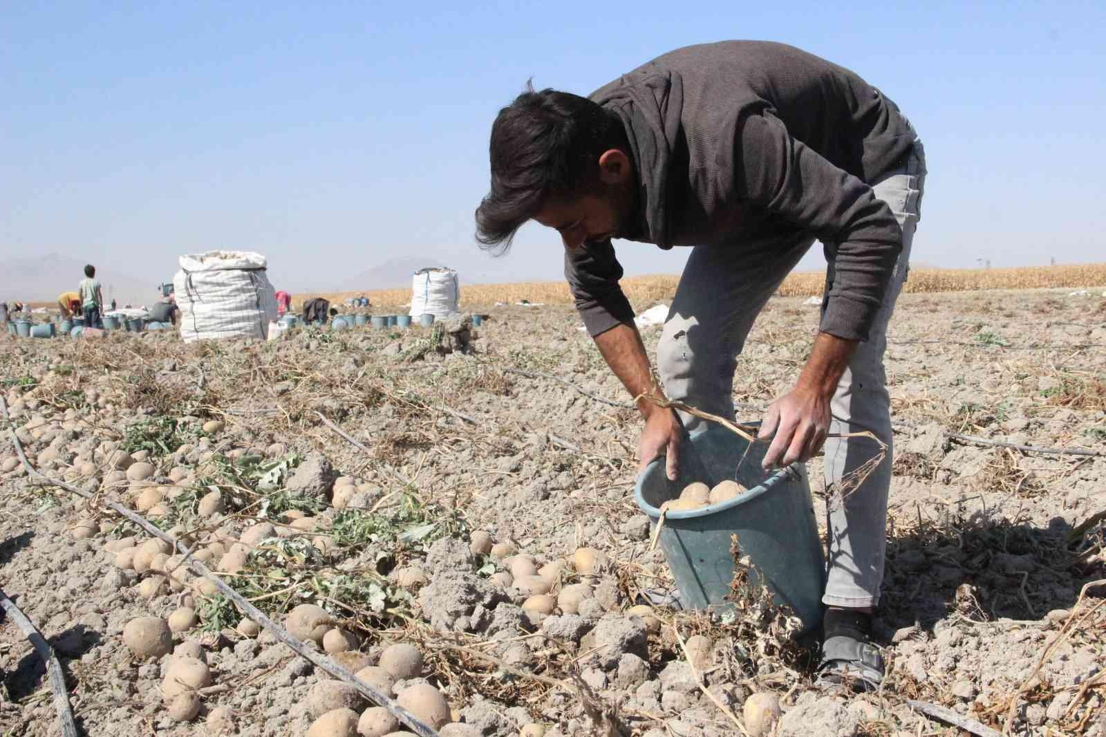 Patates hasadı kova fırlatmayla başladı