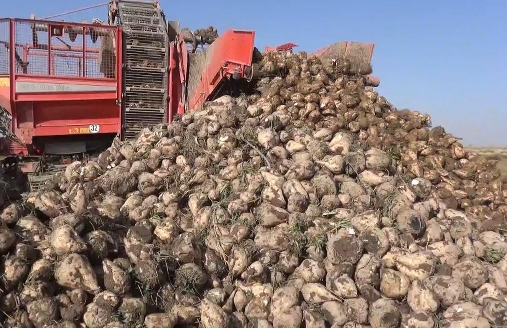 Şeker pancarının üretim üssü Konya'da hasat zamanı